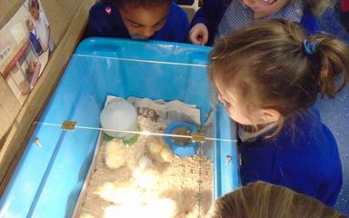 Goodbye to our chicks!